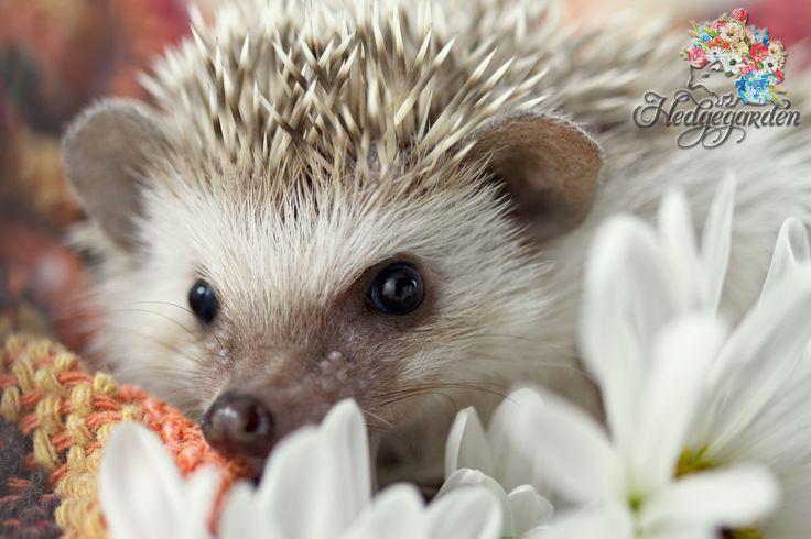 Hissy Fit, one of our Hedgegarden babies :) #hedgehog #baby hedgehog #hedgegarden #cute #flower