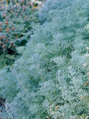 14 best artemisia images on pinterest flower gardening for Low mounding ornamental grasses
