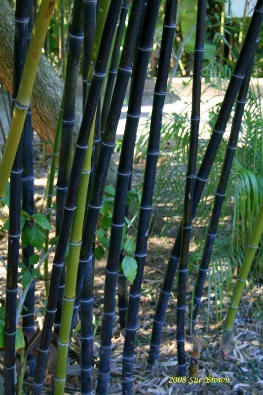 Black Bamboo (Phyllostachys nigra) would so love to have some of this!