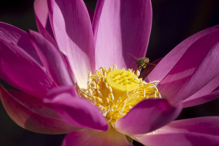 Busy bee with water lily, taken at Mary River - Corroboree Billabong