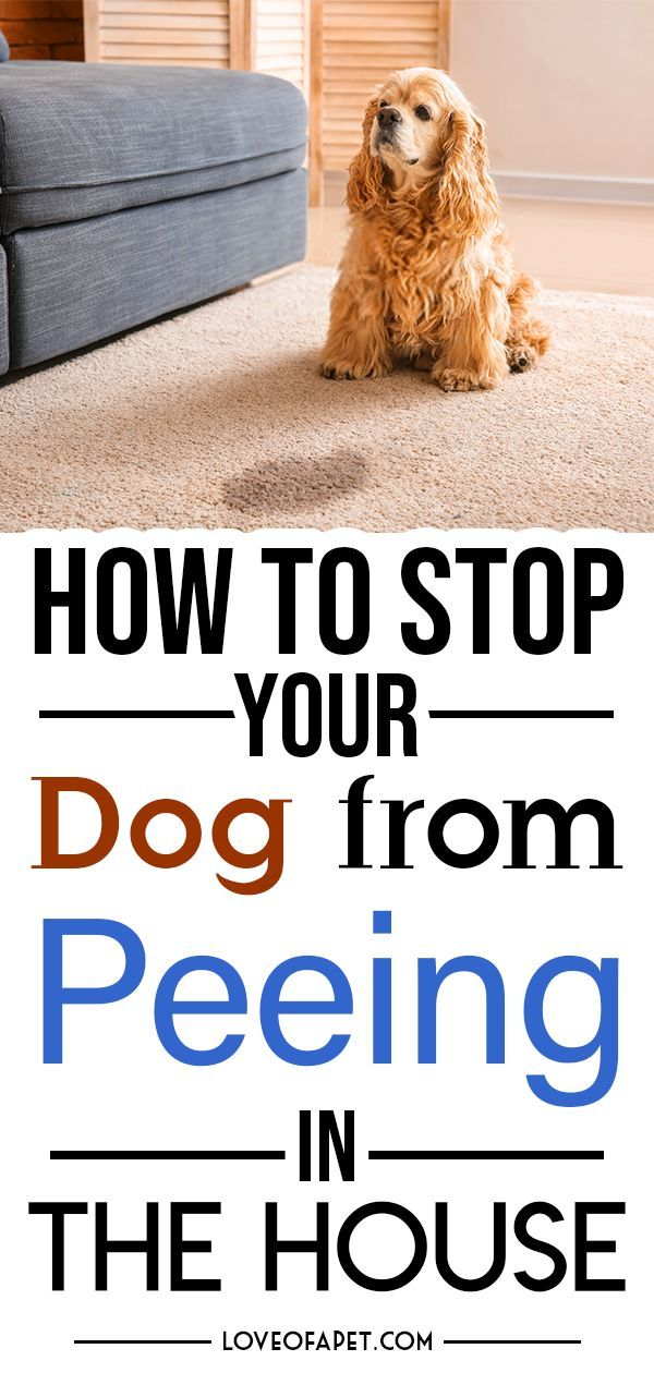 How To Stop Your Dog From Peeing In The House Dogs Dog Pee