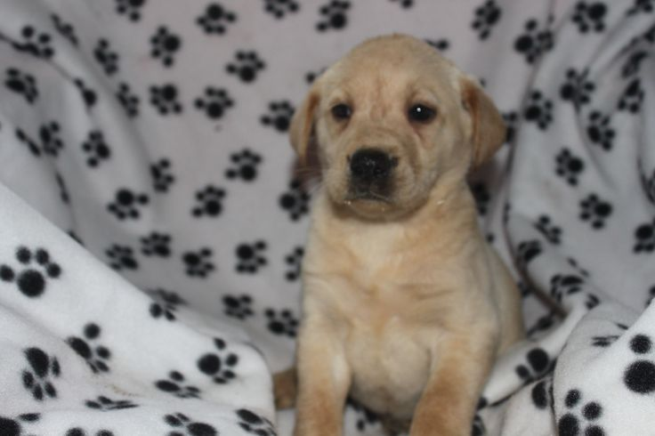 Golden lab puppy for sale -- This is a male puppy at http://www.network34.com