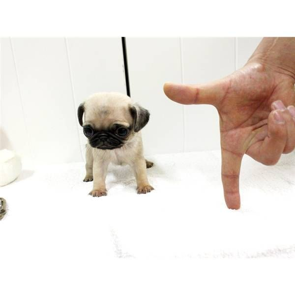 teacup pug? i thought they were already tiny enough!!!! soooo cute