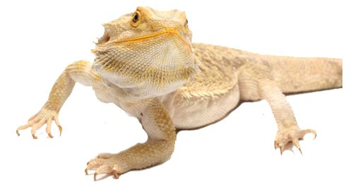 Is A Bearded Dragon Right for You? | A Guide to Cost, Supplies and Care