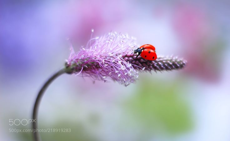 Ladybug (Elena Andreeva / Moscow) #Canon EOS 100D #macro #photo #insect #nature