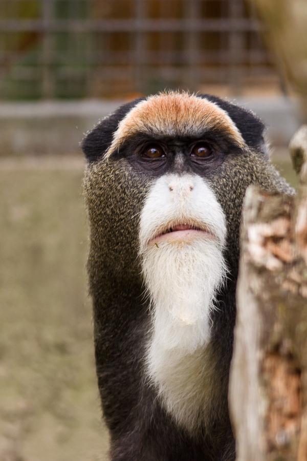 "De Brazza's Monkey or Cercopithecus neglectus roughly translates to ""Sad Monkey"""