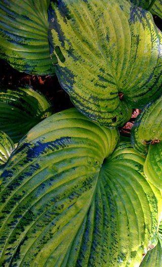 If you love hosta, read this article and keep your eyes open for this hosta virus. Pictured: Hosta - Sum and Substance