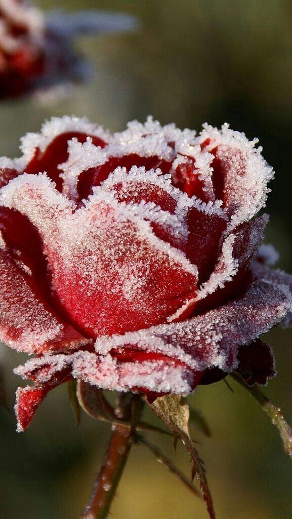 Rose Givrée <3 ***