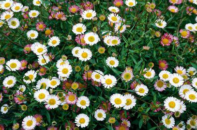 Erigeron karvinskianus AGM / RHS Gardening - grow through Lavender  May to September