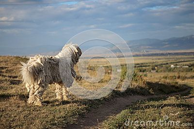 Ancient hungarian komondor sheepdog guarding the field.