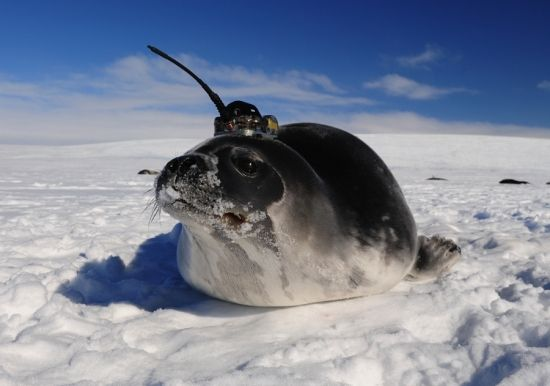 Short on Ocean Data, Scientists Turn to Seals for Help - Southern elephant seals, weighing in at up to 4,400 pounds, are not the most graceful animals. Nor are they typically thought of as particularly attractive, cute, or cuddly. But for an international team of marine biologists and oceanographers, these marine mammals have proven to be just about the perfect partners for obtaining precious data on the vastly underexplored Southern Ocean.