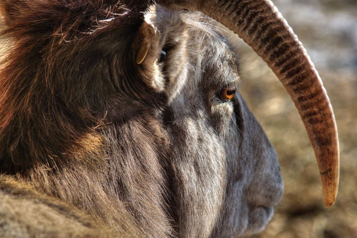 What do Rams think? by Josh Barretto on 500px