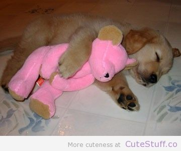Golden Retriever Puppy Snuggling It's Toy | CuteStuff.co - Cute Animals, Cute Pictures, Cute Videos and MORE!
