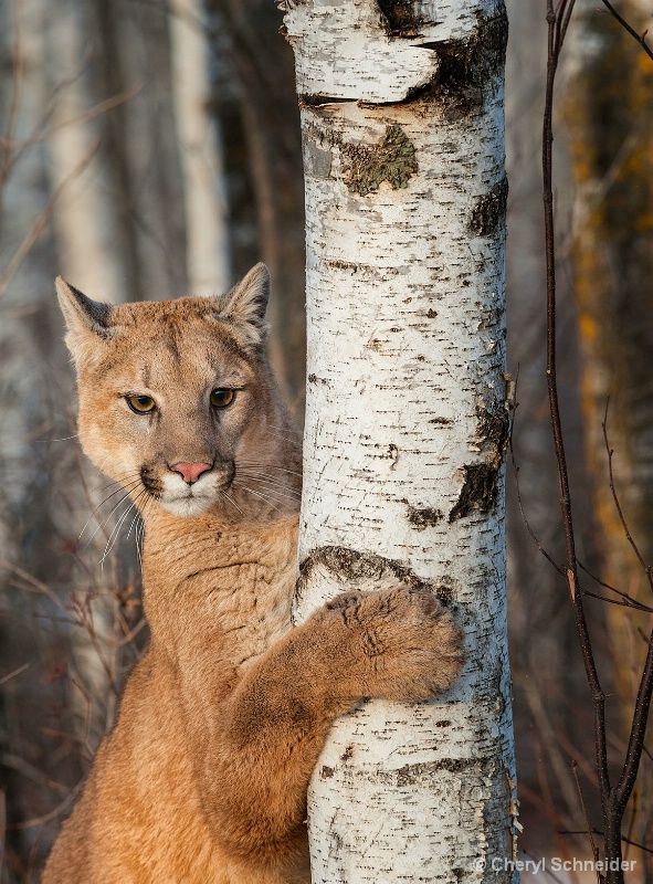 Mountain Lion 1202 Mountain lion, Animals beautiful