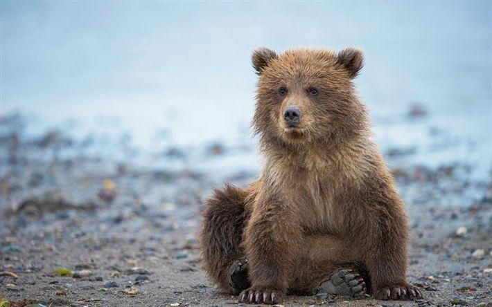 Download wallpapers small bear cub, predator, river, grizzly, bears, Alaska, USA