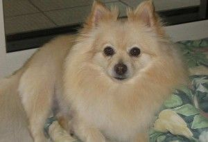 A Bribie Island family is appealing for public assistance to help locate a missing dog, reported stolen from her backyard in Bellara on Friday the 6th of March 2015.  Romy, pictured in this video, is described as an 11 year-old, desexed white female Pomeranian.  A reward is being offered for Romy's safe return.  Anyone with information which could assist in locating Romy should contact 0402 291 068 ASAP.  http://www.ourbribie.com.au/news/help-find-missing-bribie-island-dog/