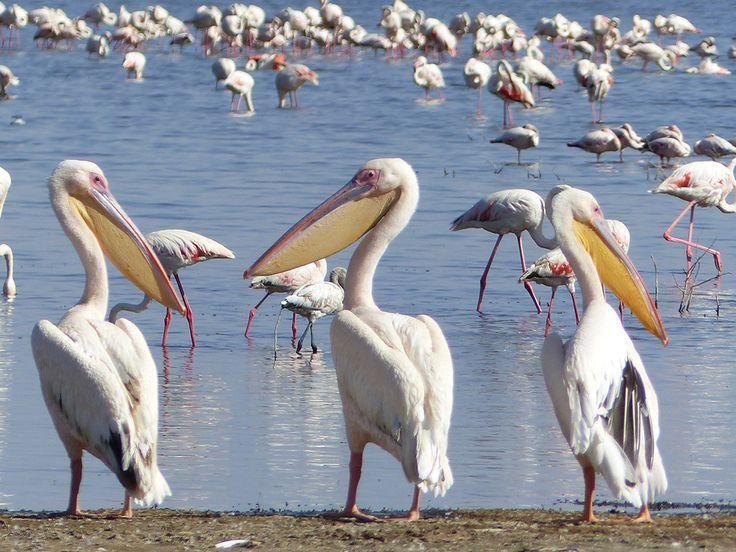 Kenia pelikaanit