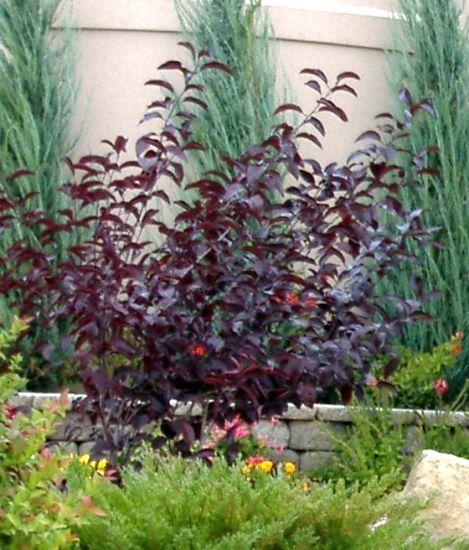 Front Garden Bushes: Purple Leaf Sand Cherry, Garden