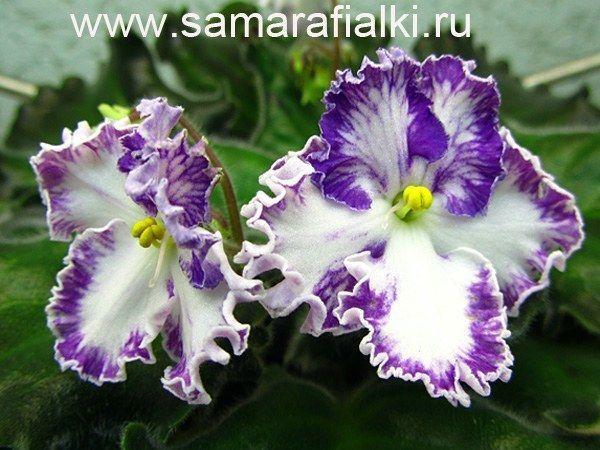 African Violet Zolushkin Con (A.V. Dejkun) Russian variety