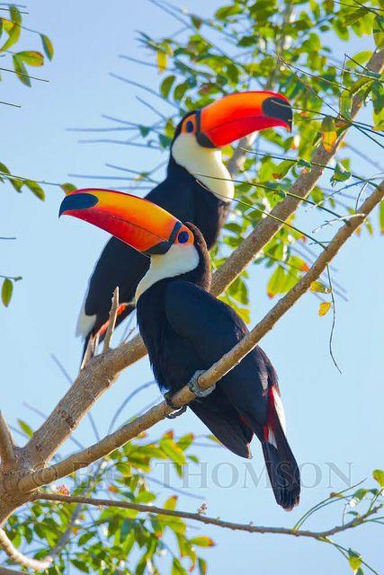 Toucans - Brésil  Plus de découvertes sur Le Blog des Tendances.fr #tendance #cute #animaux #blogueur