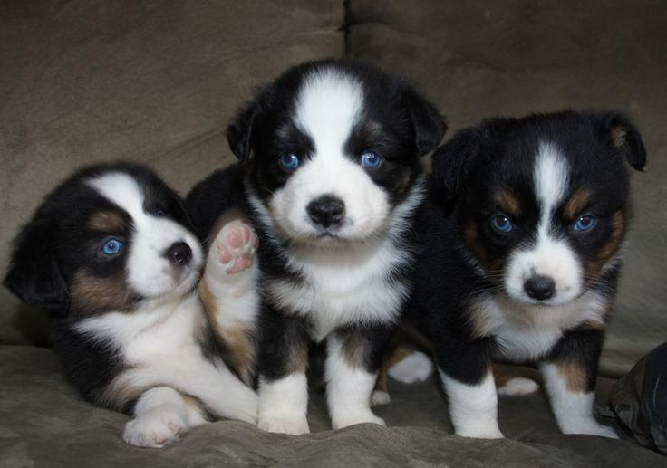 miniature aussies for sale in texas | Teacup Australian Shepherd Puppies For Sale In California
