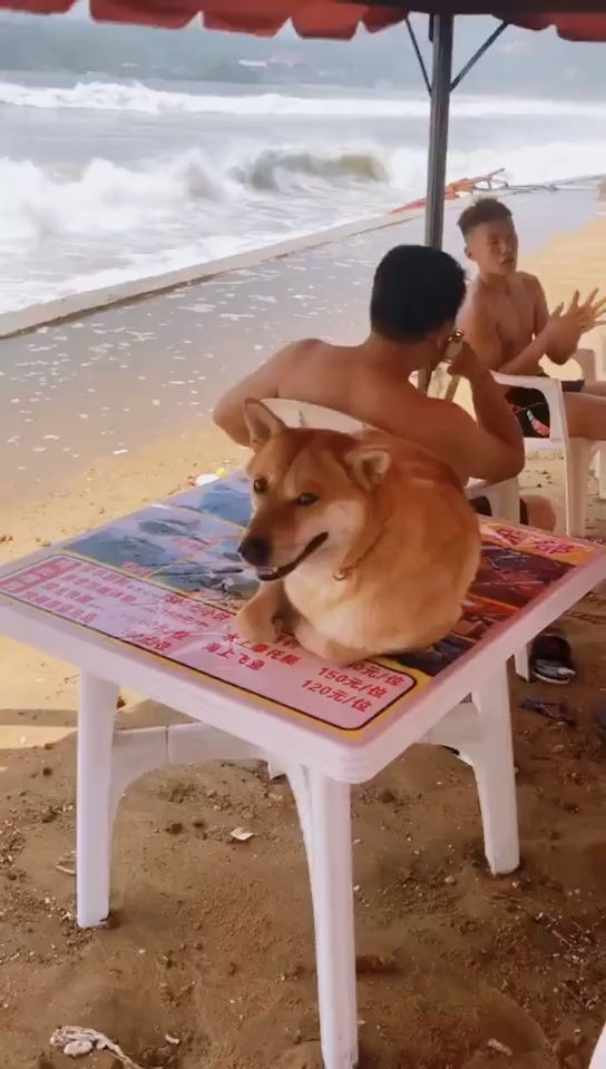 Record the funny moments of Shiba Inu: The danger is coming, run!