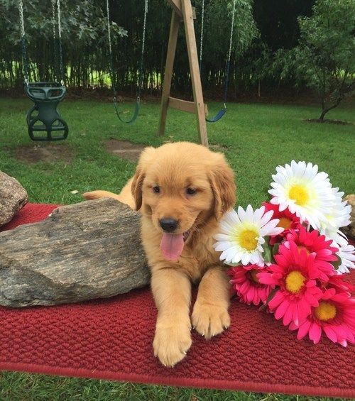 I emailed that I wanted a female golden retriever. You sent adorable pics, but your puppies' coats were too ivory for my color palette.  Cream dogs matter, but I need one to blend in with our flo…