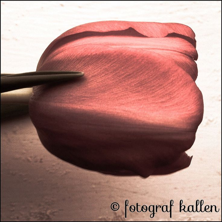 - Tulip - Decor Print  all rights reserved © fotograf kallen