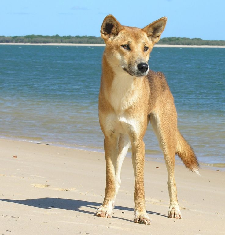 Ein Dingo auf der 70-Mile-Beach auf Fraser Island