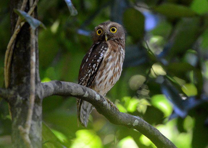 Philippine Hawk Owl (Ninox philippensis). Photo by Bram ...