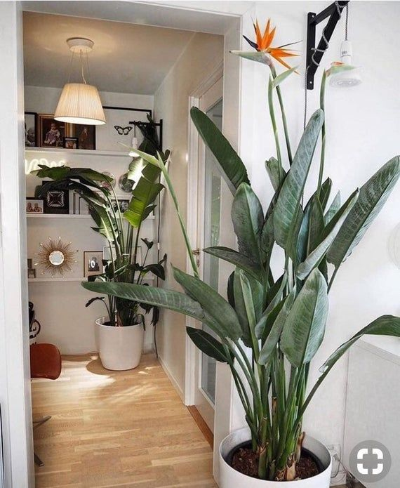 2 Or 1 Bird Of Paradise Orange Live Plants Tropical Bird Of Etsy In 2020 Birds Of Paradise Plant Plants House Plants Indoor