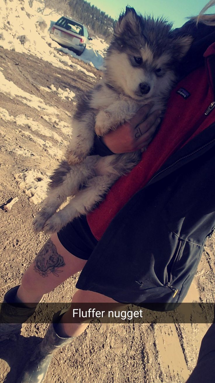 Purrrpppy lurrve  Alaskan malamute puppies are the cutest #Cutedogs #boopthesnoot #cuddle #fluffy #animals #aww #socute #puppy #bestfriend