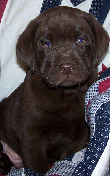 arizona labrador breeders.  Chocolate lab pup