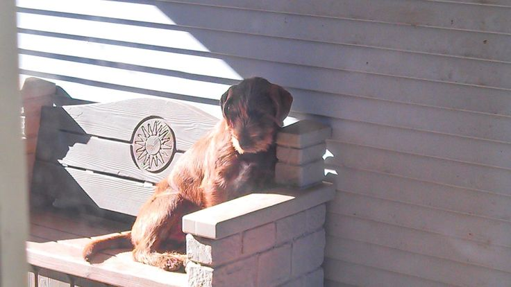 Pudelpointer puppies for sale texas