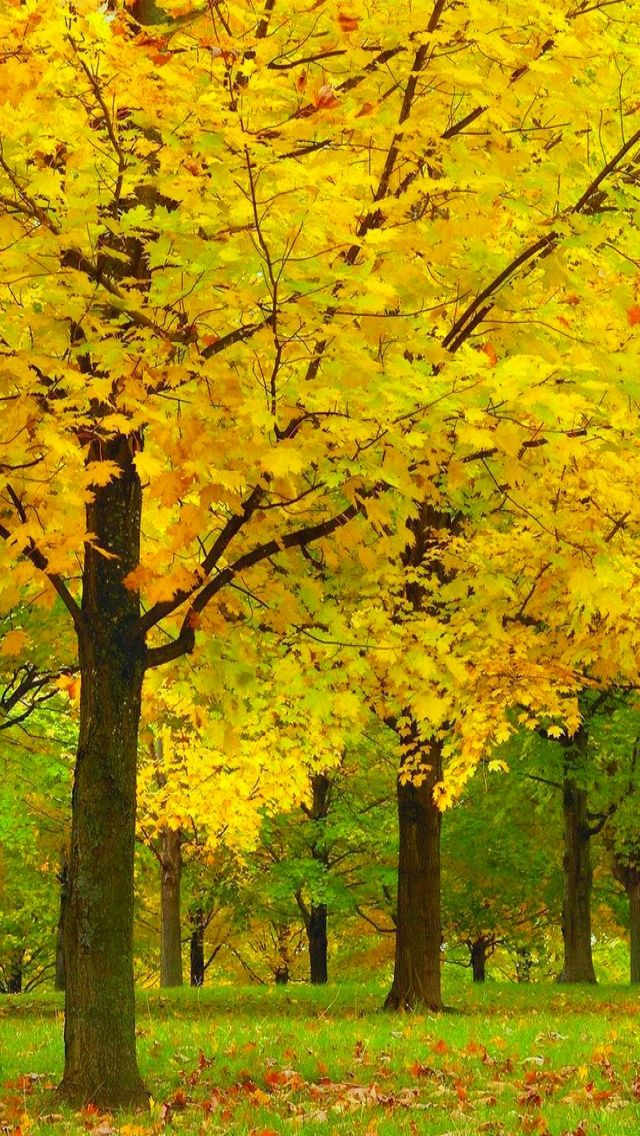 Yellow Autumn Leaves (Acer State Park, Vermont)