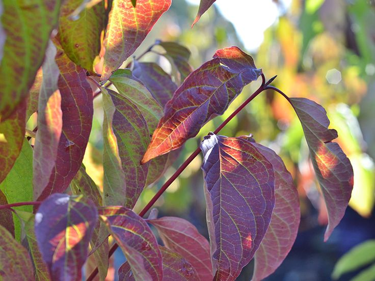 Cayenne™ Silky Red Twig Dogwood - Deciduous large shrub with brilliant red stems, very showy in winter. Green foliage turns orange-red in fall. Does well in moist areas.
