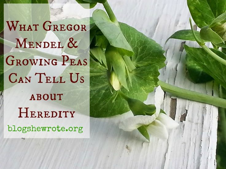 Gregor Mendel The Friar Who Grew Peas - activities (AO Year 4)