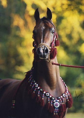 Thee Desperado Arabian Stallion