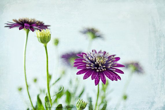 Purple Daisy Photography   Spring   Flower Print   Vibrant by 	 JCannonPhotography