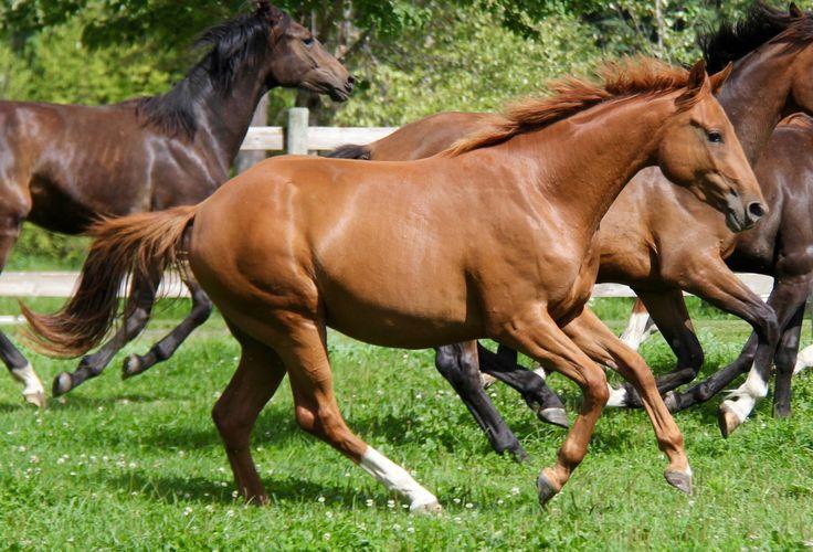 WORLD CLASS DMV - 2014 - 15 HH - Chestnut Hanoverian    #equestrian #horses #hanoverians #dressage #sporthorse