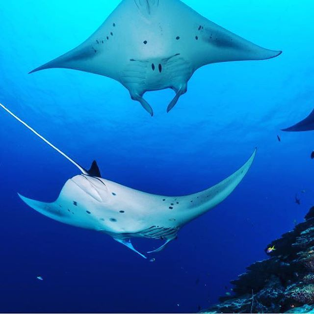 #ShangrilaMaldives is blessed with the most exotic flora & fauna. Here is introducing to you, the #1stOf5 #WondersOfVillingili this month. Watch this space for more! Dive with the larger than life #MantaRays at the only year long Manta point in the Maldiv http://www.deepbluediving.org/best-full-face-snorkel-masks/