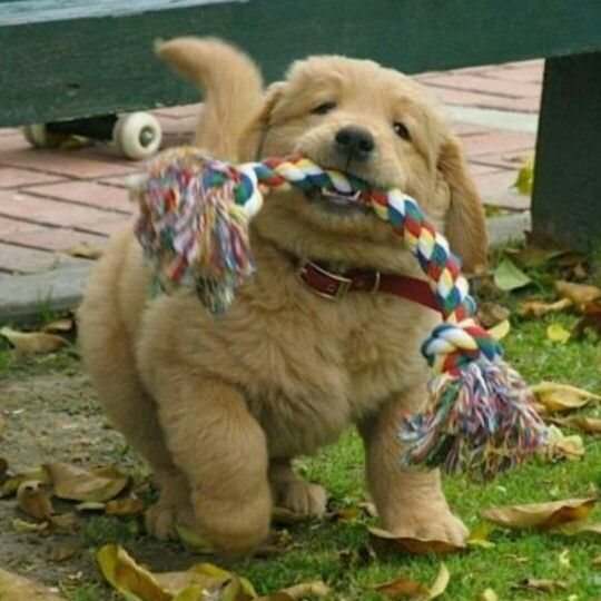 """Redirecting your puppy when he is biting is an excellent way to curb the behavior. If your dog is able to chew on a toy or bone, it will reduce the desire to nip or bite at people. When your dog bites, give a """"no!"""" command, followed by redirection with an appropriate chew toy. ******************************************* #goldenretrieverbreeder #goldenretrieverpuppy #goldenretriever #forsalepuppies #dsgoldendelights #breeder #puppies #Delaware #Maryland #NewHampshire #NewJersey #NewYork…"""