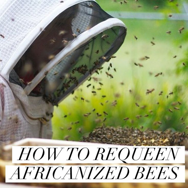 HOW TO REQUEEN AFRICANIZED BEES :http://beekeepinglikeagirl.com/how-to-requeen-africanized-bees/