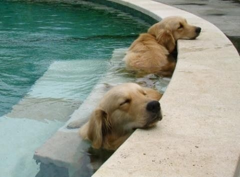 Livin the life.: Pools Time, Cooloff, Dogs Day, Hot Summer Day, Naps Time, Hot Day, Happy Dogs, Dogs Life, Golden Retriever