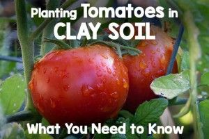 How To Plant Tomatoes In Clay Soil Growing Tomatoes 640 x 480