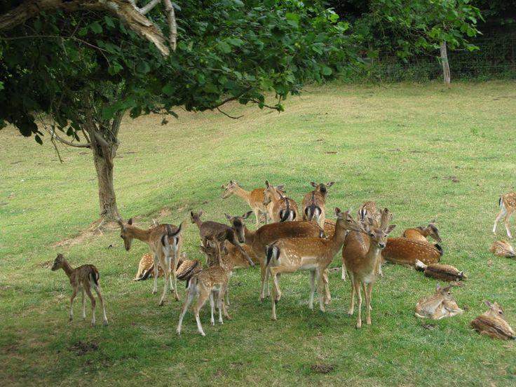 Daims au parc des bisons à Muchedent (76) le 20/07/2010