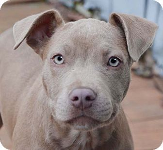 Pitbull Terrier Puppies For Adoption