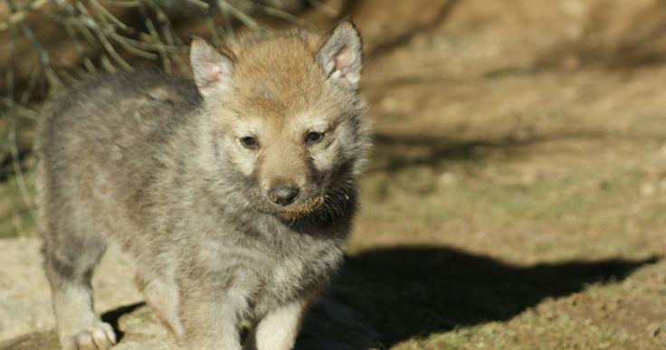 Criadero de perro lobo Checoslovaco  https://www.thewolfhouse.es/camadas-checoslovaco/