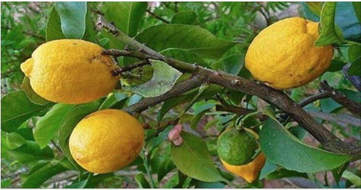 Você provavelmente já deve ter escutado falar de que água morna com limão em jejum é uma dica maravilhosa para quem quer desintoxicar o corpo. No entanto, essa