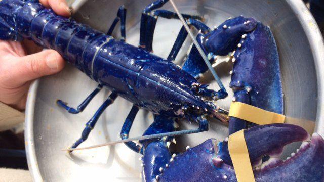 Pêché début avril dans la baie de Saint-Brieuc (Côtes-d'Armor), le rarissime homard bleu a été récupéré à Binic (Côtes-d'Armor) ce mardi 18 avril pour être transporté à Océanopolis.